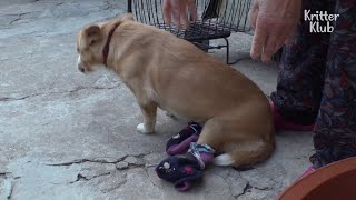 Dog With Paraplegia Rescued After Being Left In A Pile Of Garbage | Kritter Klub