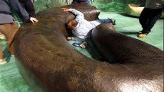 Giant Anaconda TITANOBOA Anaconda 25 feet and over 2000 pounds World Biggest Prehistoric Snake