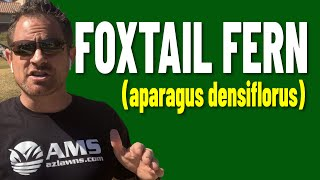 Foxtail Ferns Are Small Shrubs For Tight Areas