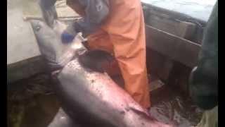 Курильские Острова - в море - Видео №31 - акула(Вот она рыба мечта... бывает и такое), 2015-07-21T09:05:23.000Z)