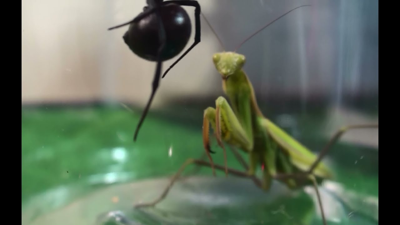 Praying Mantis And Widow Spider Natural Spider Elimination Youtube