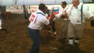 Calf Dressing at Coalinga rodeo