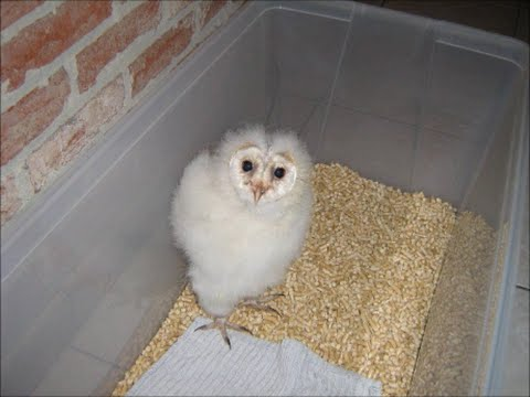 Things you should know in order to keep your baby owl alive + how to make your house owl proof