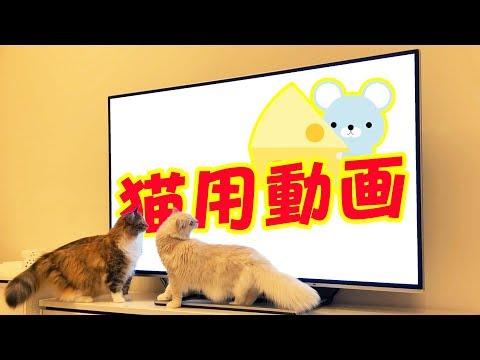猫用動画を見せたら反応が良すぎたwww