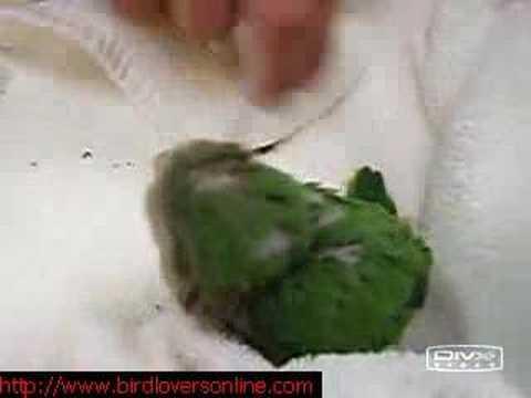 Baby Quaker Parrots 3