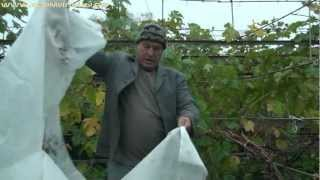 Технология выращивания винограда - ч.10(Технология выращивания винограда - ч.10. Укрытие винограда на зиму Видео записано администрацией сайта..., 2012-10-27T10:06:34.000Z)