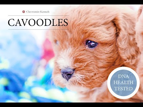 Toy Cavoodles