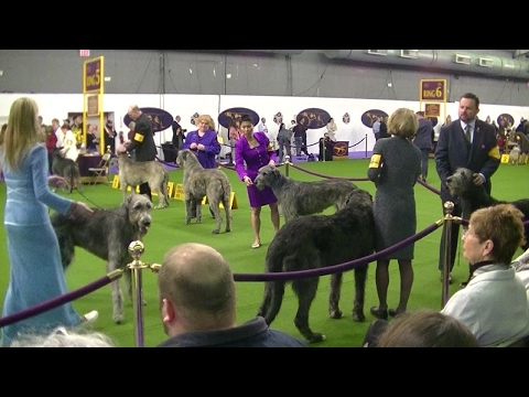 Irish wolfhound Westminster dog show 2017