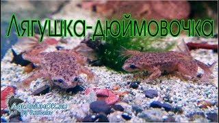 Карликовая аквариумная лягушка: поведение и питание