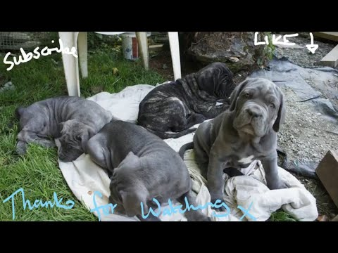 Day in the life of 8 Week old Neapolitan Mastiff Puppies 💗😂