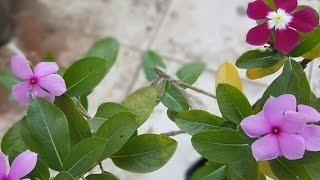 HOW TO GRAFT VINCA ROSEA OR SADABAHAR OR BARAMASI PLANT EASILY