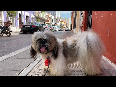 Coronavirus En El Perro | La Casita De Los Shih Tzu
