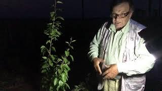 Интенсивный сад Яблони и груши.