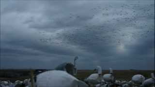 BIG SNOW GOOSE FLOCKS, BIG RAINING KILLS, 95% One Mornings Hunt, SNOWGOOSESPECIALIST.wmv