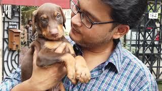 Doberman ! Applin's Doberman Pinscher Dog Breed Kennel In Kolkata India | All About Doberman Breed