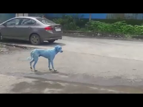 Indian blue dogs blamed on river pollution