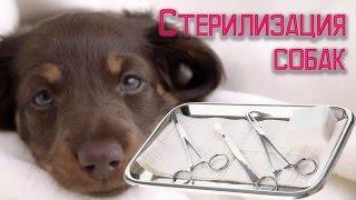 Стерилизация собак плюсы и минусы