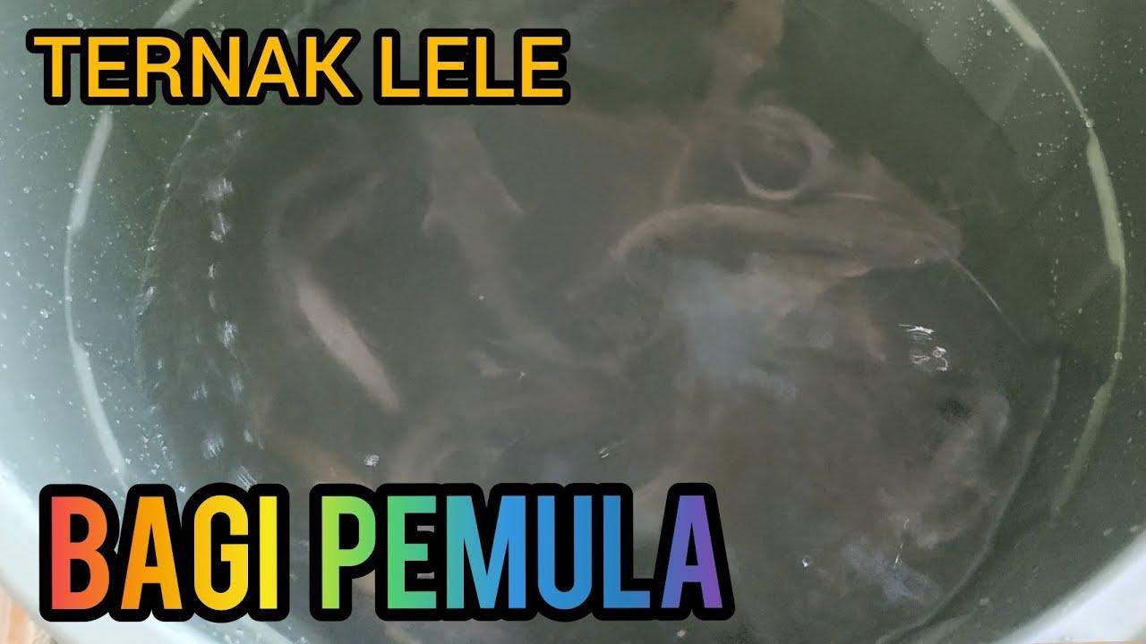 Ternak Ikan Lele Dalam Ember || Budidaya Lele di Ember ...