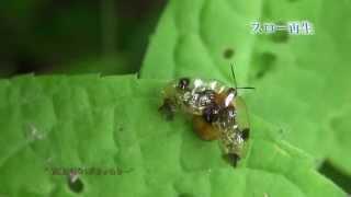 イチモンジカメノコハムシの飛び出し  Thlaspida cribrosa taking off from the leaf