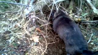 Sonny The Dachshund's Adventures In Rabbit Hunting