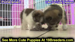 Pomeranian, Puppies, For, Sale, In, Columbia, Maryland, Md, Perry Hall, Pikesville, College Park, Sa