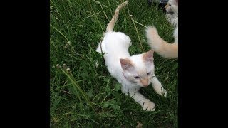 Red point Siamese Kittens - Sparkie with her kittens