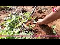 Small Organic Potatoes At Home  || Growing Potatoes at Home || SumanTV Tree