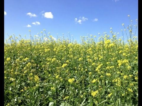 High Glucosinolate Mustard as an Organic Biofumigant in Vegetable Crops HD 7