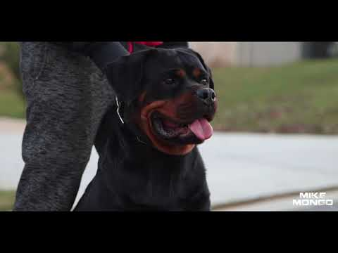 "The ""Diva"" of FTD Rottweilers allow me to re-introduce MECHA! (Quick Clip) #Rottweiler"