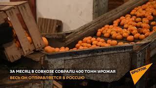 Как в Абхазии собирают мандарины, которые попадают на новогодний стол к россиянам
