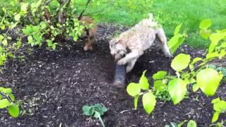 Phobie & Willy Barking At Chipmunk In Pipe