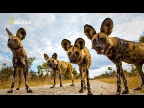 Wild Dogs - Most Polyvalent Animals New HD Documentary 2017