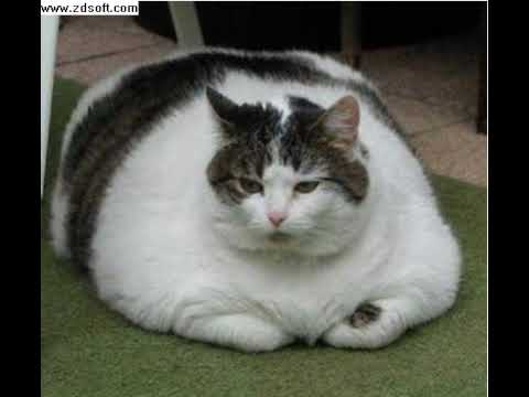 the worlds fattest cat youtube