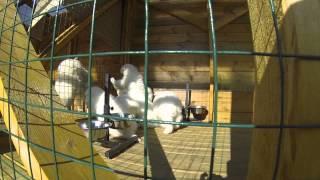 Щенки самоедской собаки, питомник Ристикент #1