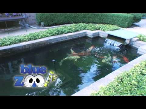 Gin rin showa 39 10 koi harvest funnydog tv for Koi pond return jets
