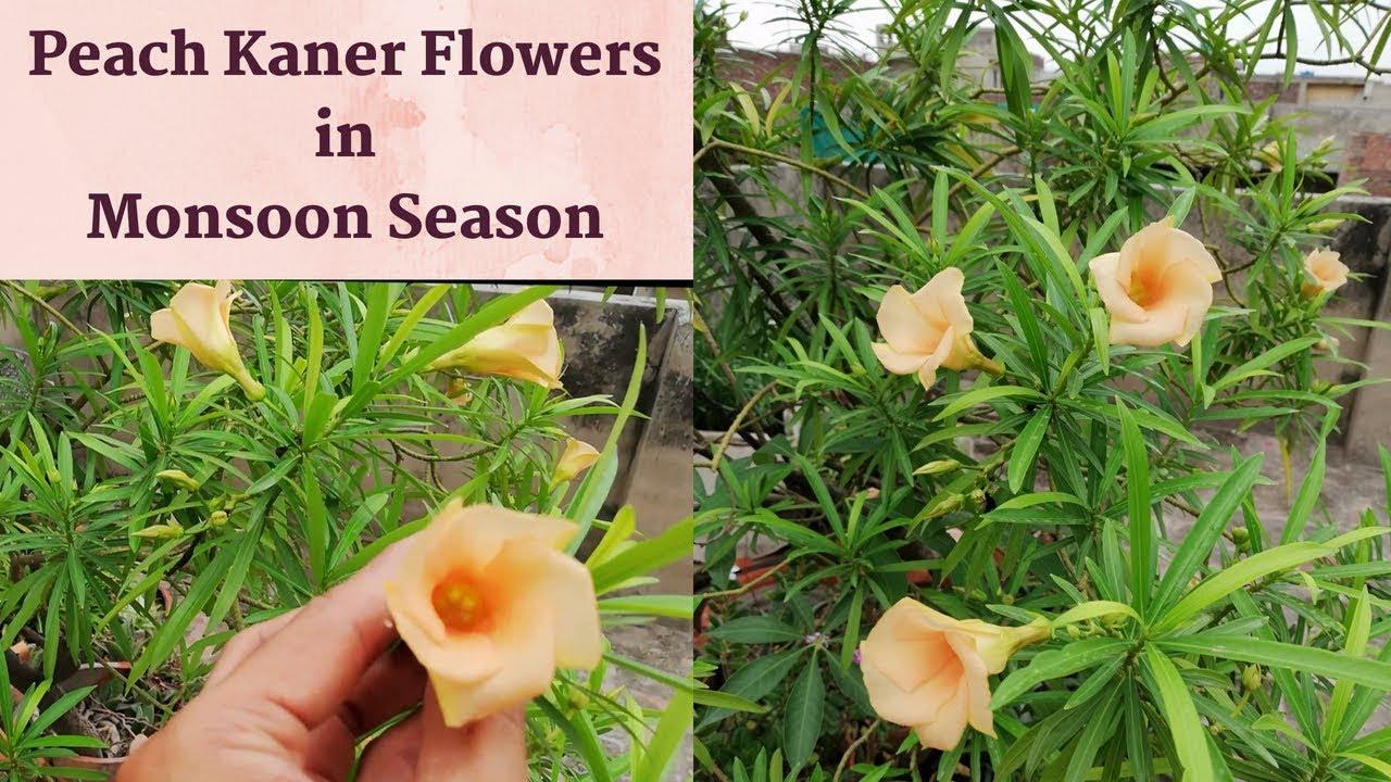 Peach thevetia peruviana flowers kaner flowers in monsoon season thevetia pakistan oleander mightylinksfo