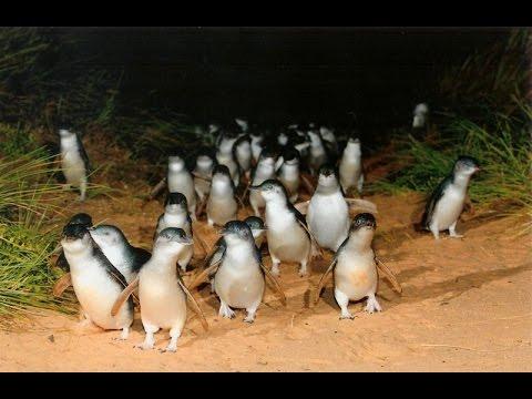 видео: Парад Пингвинов. Остров Филиппа, Мельбурн, Австралия. penguin parade. melbourne, australia