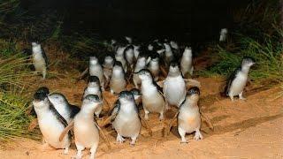 Парад Пингвинов. Остров Филиппа, Мельбурн, Австралия. Penguin Parade. Melbourne, Australia
