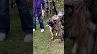Arik Leonberger and Brodie Scottish Deerhound 17 March 2021