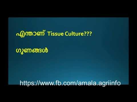 ടിഷ്യു കൾച്ചർ  ഒരു തട്ടിപ്പാണോ ?? കർഷകർ അറിയാൻ,Amala Agri info