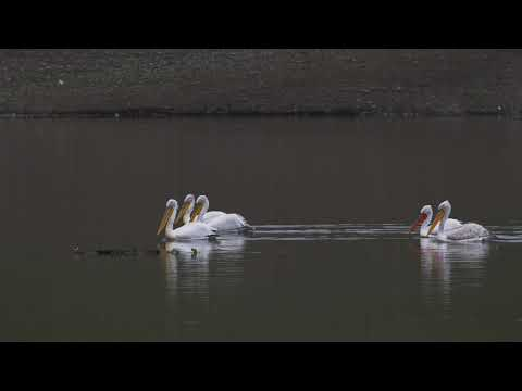 Kars Barajı Pelikan