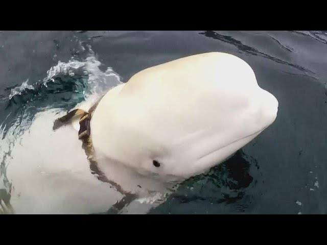 Whale Found Swimming in Arctic With Russian Harness