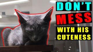 HOW RUSSIAN BLUE CAT LOOKS!! WHEN SLEEPING!! | GADJGADJ