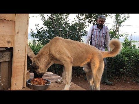 KANGAL BARON'UN BAŞKANLIK ÖDÜL YEMEĞİ #kangal #canecorso #dogoargentino #malaklı #jackrussell