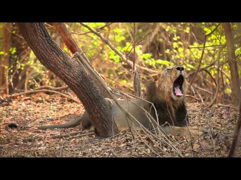 Club Mahindra Gir Resort -- Rendezvous With Asiatic Lions