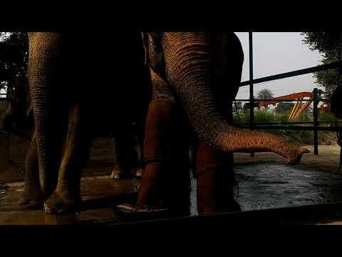 Wildlife SOS Vet Explains Sita's Foot Treatment