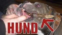 """Kampfhunde"" besucht - Olde English Bulldoggen aus Baden-Baden im Dunkeln Teil 2  🐕 Adam liebt Hunde"