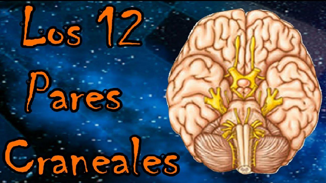 Los 12 Pares Craneales del Ser Humano |Fisiologia 01| - Porteron100 ...