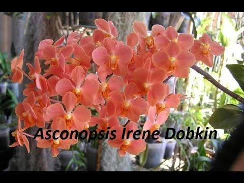 Орхидея ирен добкин фото
