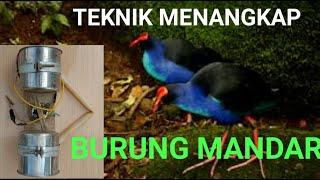 Download CARA CEPAT MENANGKAP BURUNG MANDAR DENGAN ALAT OTOK OTOK
